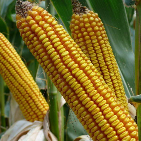 Magdolna kukorica