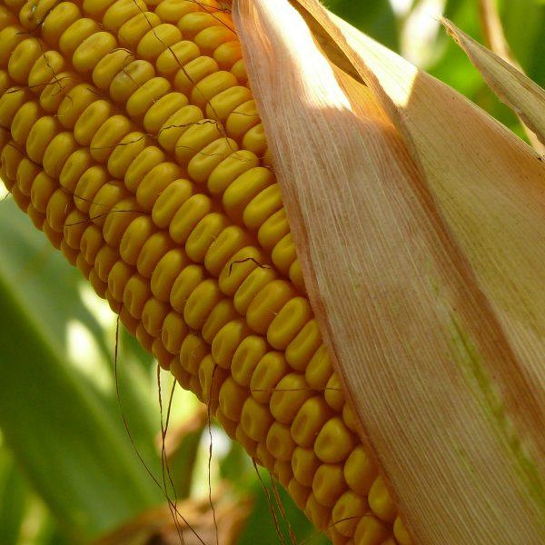 Isztria kukorica