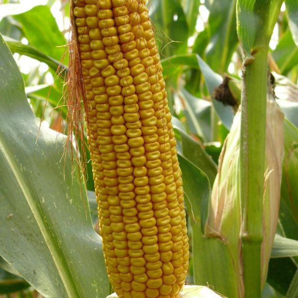 Tomasov kukorica