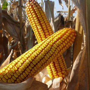 Kukorica vetőmag