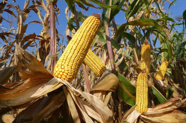 Csúcstermésre képes Agromag kukoricák