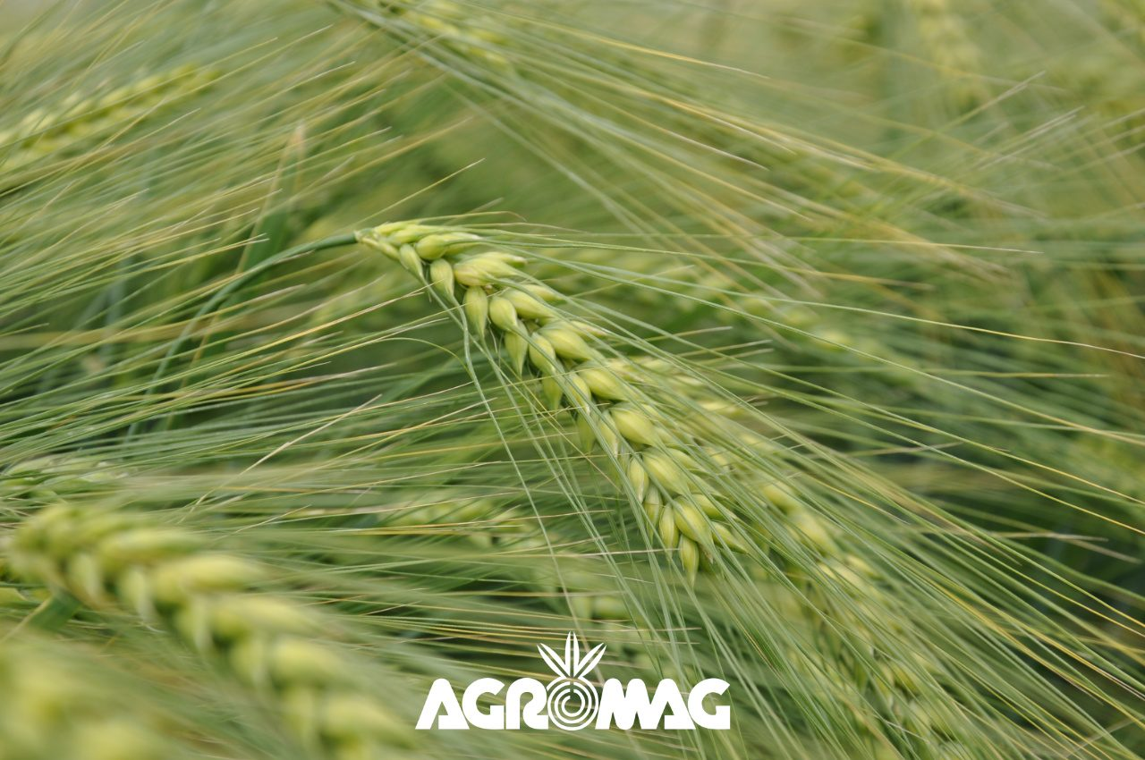 Agromag őszi árpa vetőmag