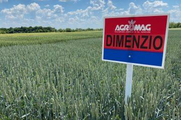 IS Dimenzio őszi búza